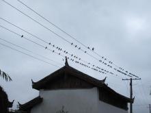 Swallows in the rain.